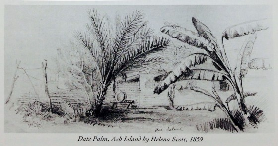 Date Palm, Ash Island by Helena Scott (Published by Marion Ord from original drawing in Australian Museum)